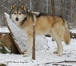 Wolf pictures, snow nose Picture