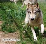 Wolf Running Picture