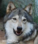 Wolf pictures, the portrait Picture
