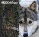 Wolf pictures, Watchful Alpha Picture