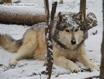 Wolf pictures, snow on the brain Picture