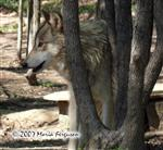 Wolf getting closer photo Picture