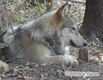 Wolf on the verge of sleep photo Picture