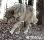 Wolf walking in sunshine photo Picture