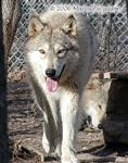 Trotting Wolf Picture