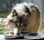 Wolf enjoying Easter treats picture Picture