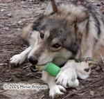 Wolf chewing on nylabone picture Picture