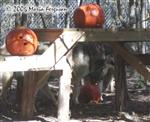 Wolf with muzzle in pumpkin picture Picture