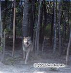 Wolf running picture Picture