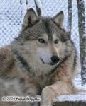Handsome Alpha Wolf in Snow picture Picture