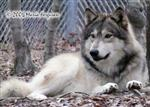 Watchful Alpha Wolf picture Picture