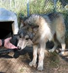 Socializing Wolf Pups picture XIX Picture