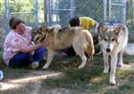 Socializing Wolf Pups picture VI Picture