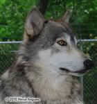 wolf picture, profile Picture