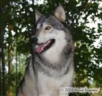 Wolf pictures, Waya in early Fall Picture