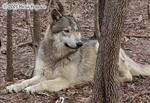 This Wolf hears it too Picture