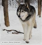 Wolf pictures, Waya's snow day VI Picture