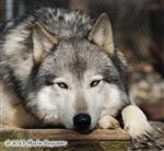 Those Eyes, Wolf picture Picture