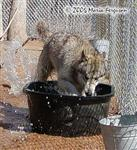 Splish Splash Wolf pup picture Picture
