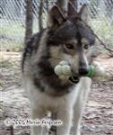 Wolf carries nylabone picture Picture