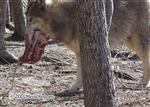 Wolf carrying food Picture