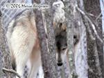 Wolf in trees photo Picture