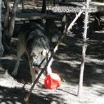 Wolf pushes ball with muzzle picture Picture