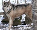 Waya Wolf in the snow photo Picture