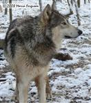Subordinate Male Wolf in snow picture Picture