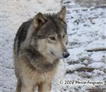 Wolf, Waya picture Picture