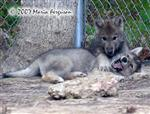 Who's on Top, Wolf pup picture Picture