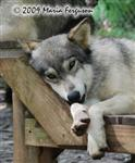 Wolf pictures, innocent Picture