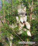 Wolf pictures, predicament Picture