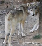 Wolf pictures, serious Picture