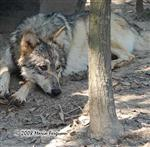 Wolf pictures, another dirty girl Picture