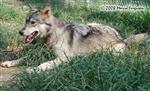 Wolf pictures, Little Ms Trouble Picture