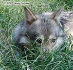 Wolf pictures, in grass Picture