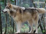 Wolf pictures, sharp Picture