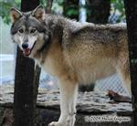 Wolf pictures, showing off Picture