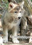 Where did she go, wolf pup picture Picture