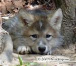 All is well, Wolf pup picture Picture
