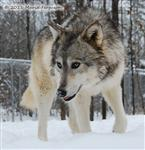 Wolf pictures, Woha's snow day I Picture