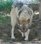 wolf pictures, tracking Picture