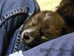 Woha, Wolf pup sleeping on her Nanny pic Picture