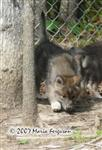 Wolf Pup smelling picture Picture