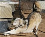 Wolf stretching picture Picture