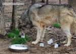 Wolf pictures, pigging out Picture
