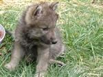 Wolf Cub pictues, 1 month old Picture