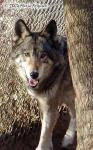 Pretty Girl Wolf Picture