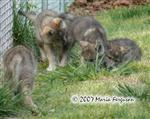 Wolf Pup pack picture Picture